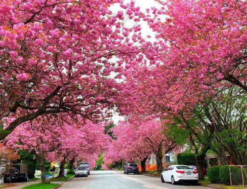 Vancouver Cherry Blossom – the most beautiful season in year