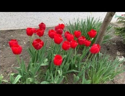 Spring in Vancouver Canada – walking tour